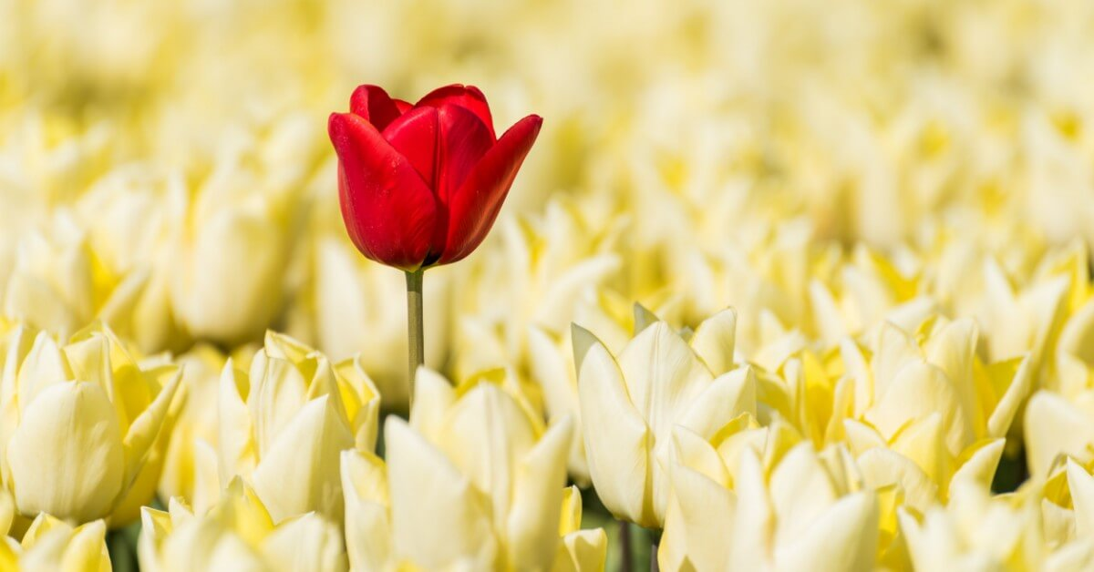 Red Tulip growing a head taller than an entire field of yellow flowers signifying differentiation.